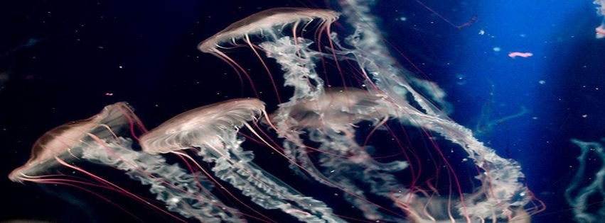 Blue jellyfish ocean sea underwater facebook covers for Covers from the ocean