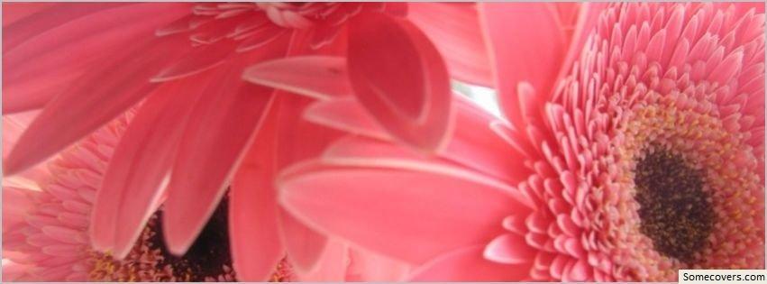 Pink Gerbera Flowers Facebook Timeline Cover Facebook Covers ...